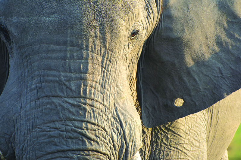 Close-up photo of elephant's face in Botswana, Africa.