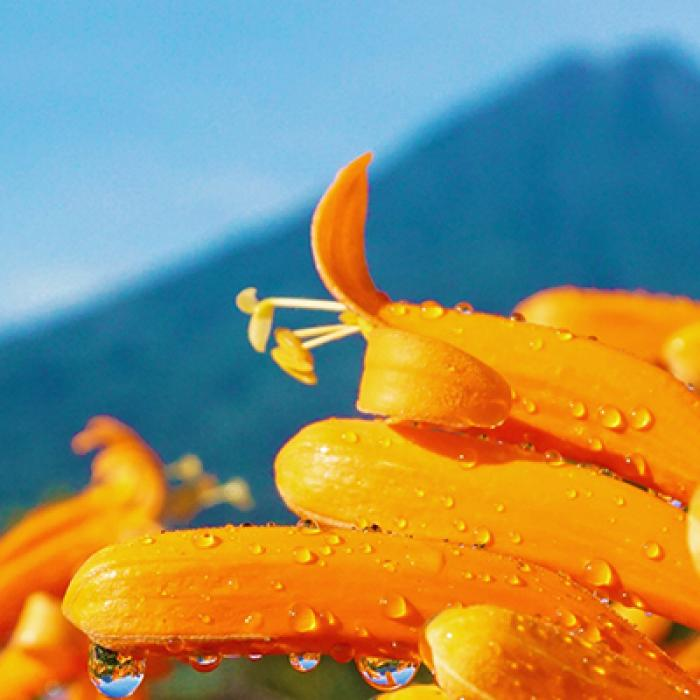 Orange flower with raindrops and mountain background.